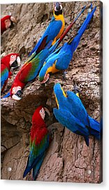 Green And Red And Blue And Gold Macaws Acrylic Print by Alfredo  Maiquez