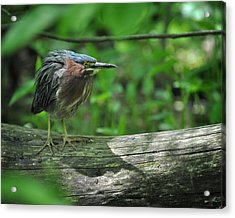 Green Backed Heron At The Swamp Acrylic Print