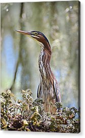 Acrylic Print featuring the photograph Green Backed Heron In An Oak Tree by Kathy Baccari