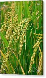 Green Beautiful Rice Farming Acrylic Print by Boon Mee