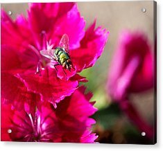 Green Bottle Fly On Dianthus  Acrylic Print by Rona Black