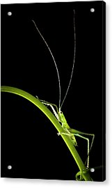 Green Bush Cricket Acrylic Print by Alex Hyde