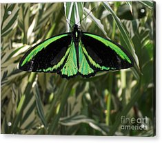 Acrylic Print featuring the photograph Green Butterfly by Brenda Brown
