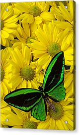 Green Butterfly On Yellow Mums Acrylic Print by Garry Gay