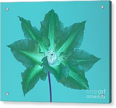 Green Clematis On Turquoise Acrylic Print by Rosemary Calvert