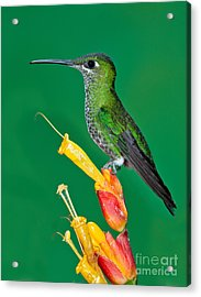 Green-crowned Brilliant Acrylic Print by Anthony Mercieca