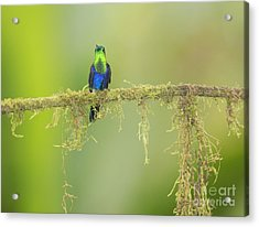Green-crowned Woodnymph Hummingbird Acrylic Print by Dan Suzio