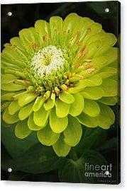 Green Dahlia Acrylic Print