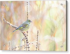 Green Finch Acrylic Print