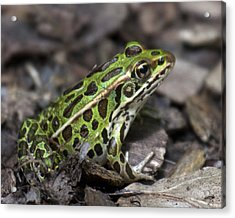 Green Frog Acrylic Print by Timothy McIntyre