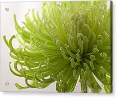 Green Fuji Mum Acrylic Print