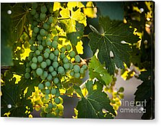 Green Grapes Acrylic Print