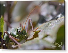 Acrylic Print featuring the photograph Green Grasshopper Ephippiger by Jivko Nakev