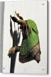 Green Hair Moth Acrylic Print