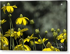 Green Headed Coneflower Acrylic Print by Dan Hefle