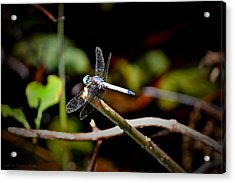 Green-headed Dragonfly Acrylic Print