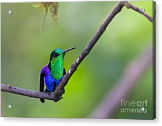 Green-headed Woodnymph Acrylic Print