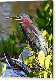 Green Heron At Minwr Acrylic Print