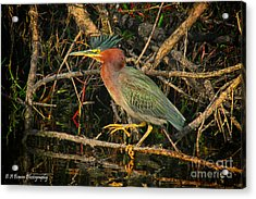 Green Heron Basking In Sunlight Acrylic Print by Barbara Bowen