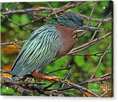 Green Heron Breeding Colors Acrylic Print