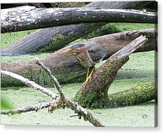 Acrylic Print featuring the photograph Green Heron - Camouflage by I'ina Van Lawick
