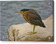 Green Heron, Fernhill Wetlands, Forest Acrylic Print by Michel Hersen