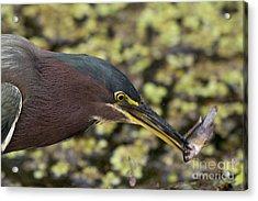 Green Heron Fishing Acrylic Print
