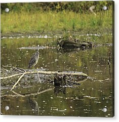 Juvenile Black Crowned Night Heron In A Marsh Acrylic Print
