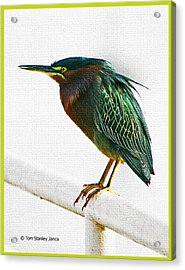 Green Heron In Scottsdale Acrylic Print