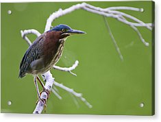 Green Heron Acrylic Print by Larry Bohlin