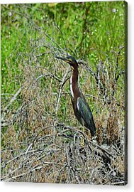 Green Heron Acrylic Print by Mary Zeman