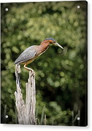 Green Heron On Stump Acrylic Print