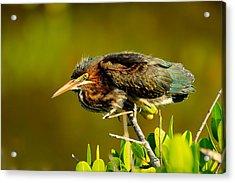 Green Heron Acrylic Print