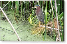 Acrylic Print featuring the pyrography Green Heron by Ron Davidson