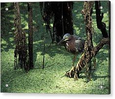 Green Heron Acrylic Print by Steven Ralser