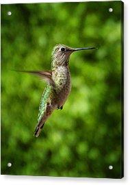 Green Hummingbird Acrylic Print