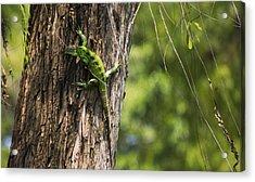 Green Iguana Acrylic Print by Aged Pixel