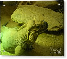 Green Iguana Acrylic Print by Ann Fellows