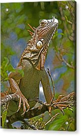 Acrylic Print featuring the photograph Green Iguana by Dennis Cox WorldViews