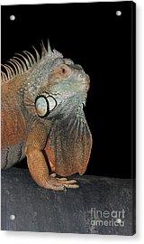 Green Iguana  Acrylic Print by Judy Whitton