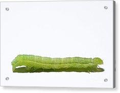 Green Inchworm On White Background Acrylic Print by Sami Sarkis