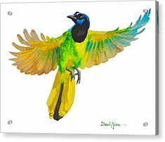 Da175 Green Jay By Daniel Adams Acrylic Print