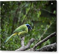Green Jay Acrylic Print