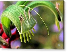 Green Kangaroo Paw Acrylic Print