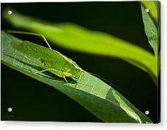 Green Katydid Acrylic Print by Christina Rollo
