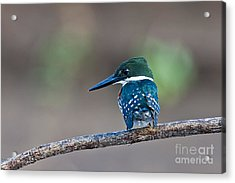Green Kingfisher Acrylic Print