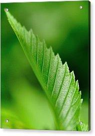 Green Leaf 002 Acrylic Print