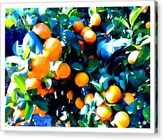 Green Leaves And Mature Oranges On The Tree Acrylic Print by Lanjee Chee