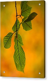 Green Leaves In Autumn Acrylic Print