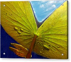 Green Lilly Pad Acrylic Print by Lorella  Schoales